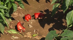 Rotten bell peppers on the ground Stock Footage
