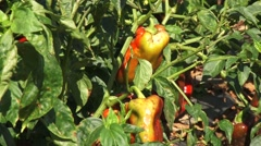 Sick peppers in a field Stock Footage
