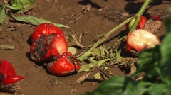 Dry rot peppers Stock Footage