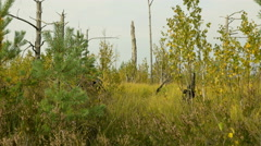 Dead tree in the forest. Autumn daytime. Smooth dolly shot. Stock Footage