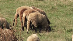 Sheep on pasture in the meadow Stock Footage