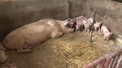 The sow and piglets in the corner of pigsty Stock Footage