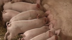Piglets fighting for teat Stock Footage
