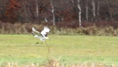 Red crowned Crane running Stock Footage