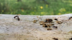 Ants running over a tree trunk, Formica rufa Stock Footage