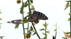 HD Footage of group of butterfly feeding flower Stock Footage