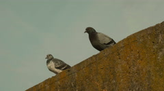 Two pigeons. Autumn daytime. - stock footage