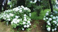Hortensia tree in botanic garden Stock Footage