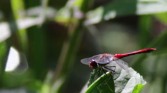 Dragonfly on a branch plant Stock Footage