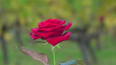 Red rose on vineyards background Stock Footage