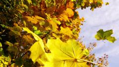 Falling leaves blowing in the wind.Close up on falling autumn leaves Stock Footage