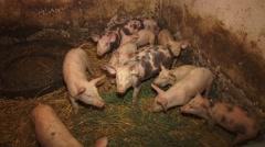 Piglets eat alfalfa Stock Footage
