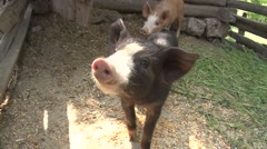 Pigs in the rural pen Stock Footage