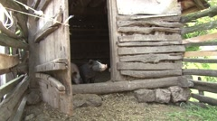 Rural pigsty with piglets Stock Footage
