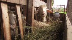 Sheep eat hay and straw Stock Footage