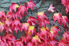Stock Photo of Red leaves of wild grapes on gray wall