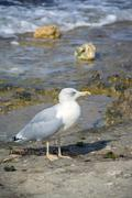 sea gull - stock photo