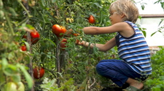 Little child picking ripe tomato in vegetable garden Stock Footage