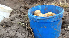 Collect potato harvest Stock Footage
