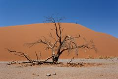 Dune 45 in sossusvlei Namibia with dead tree - stock photo