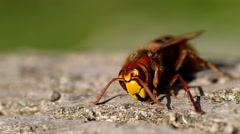 Hornet on a wooden bark Stock Footage