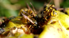 Wasps eat a pear Stock Footage