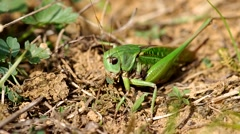 Grasshopper on the green grass Stock Footage