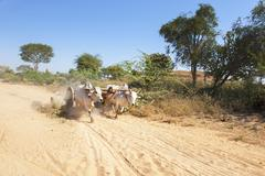 A yoke of running oxen on a dusty road - stock photo