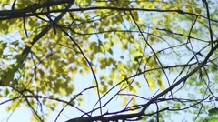 Branches without leaves background with yellow leaves of the tree are shaken Stock Footage