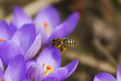 Honeybee Flying to Crocus Flowers - stock photo