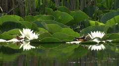 White water lily flowers in the lake Stock Footage
