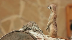 Meerkat looking out for danger Stock Footage