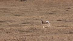 Alarmed White-tailed Deer in Field Stock Footage