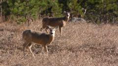 White-tailed Deer Alarmed in Field in 4K Stock Footage