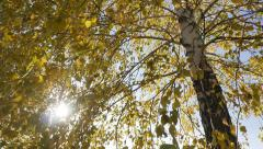 Autumn birch Leaves swaying in the breeze wind. Dolly shot Stock Footage