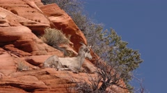 Desert Bighorn Sheep on Rocky Cliff Ledge - stock footage
