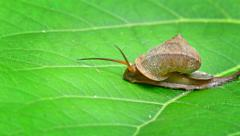 Snail Crawling across a Leaf, Trailin Slime Stock Footage