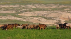 Herd of Horses Feeding on Green Grass in Western Badlands Stock Footage