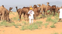 Indian men and herd camels attended the annual Pushkar Camel Mela - stock footage