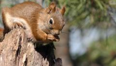 Red aka Pine Squirrel Feeding in Conifer Forest on Stump - stock footage