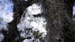 Spanish Moss Closeup Stock Footage
