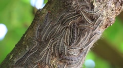 Oak processionary moth - Thaumetopoea processionea caterpillars on the tree Stock Footage