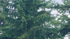 Large Trees In Heavy Rain Stock Footage