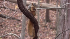 large fox squirrel eating black walnut on grape vine - stock footage