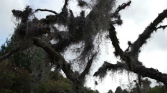 Spanish Moss in Dead Tree Dolly Stock Footage