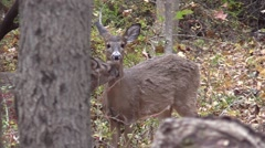 Two whitetail deer does grooming closeup Stock Footage