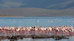 Flocks of Flamingoes in Lake Bogoria, Kenya Stock Footage