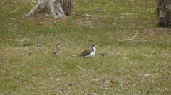 Plover - Masked Lapwing nesting  Stock Footage
