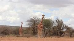 Wild Reticulated Giraffe in Kenya, East Africa - stock footage