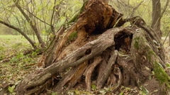 Big root of the big tree. Autumn daytime. Smooth dolly shot. Stock Footage